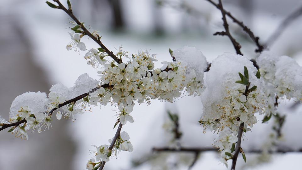 Winter Blast, Flowers, Winter, Spring, Snow, Flower