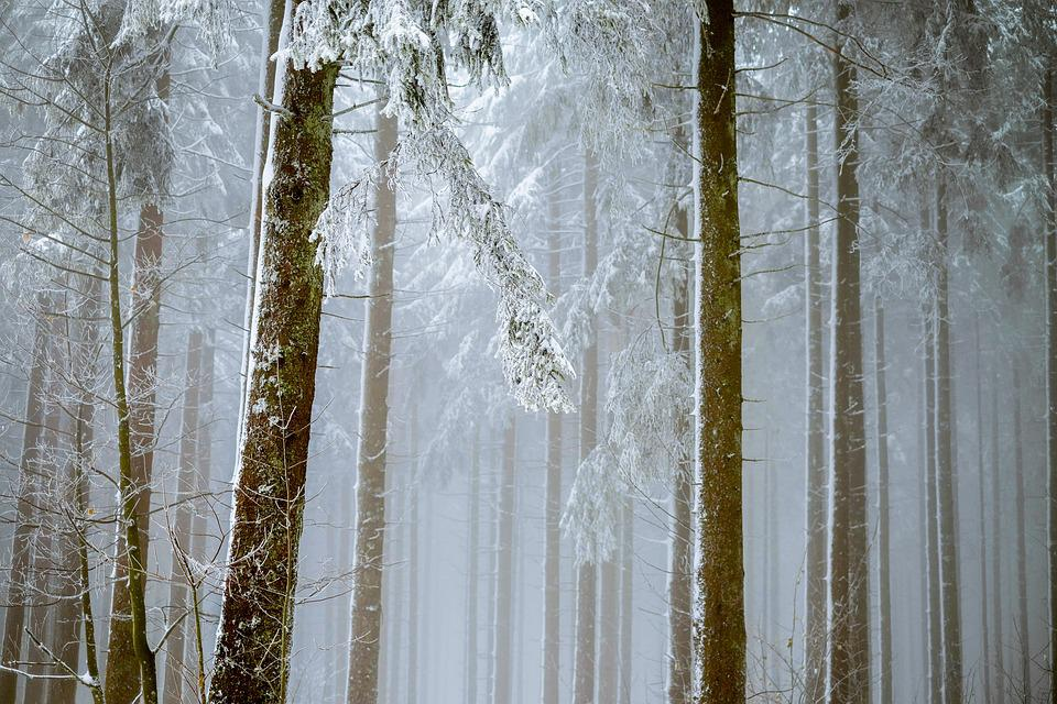 Forest, Fog, Trees, Firs, Snowy, Snow, New Zealand