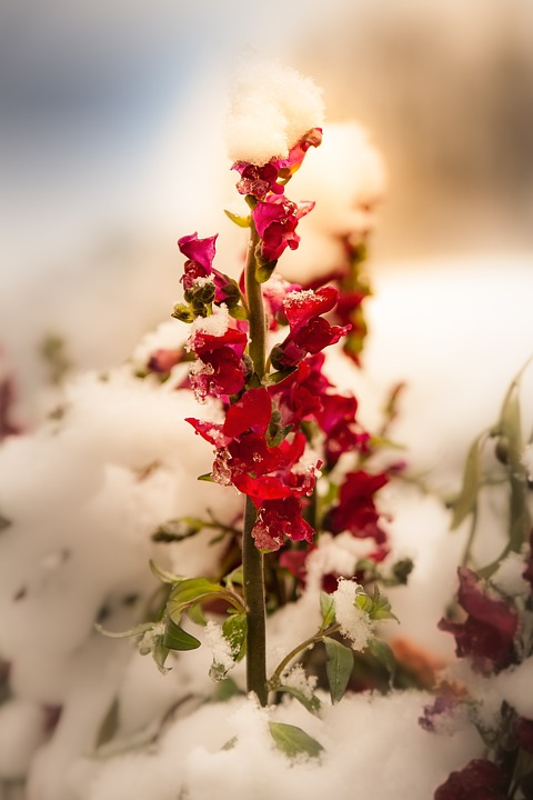 Flower, Red Winter, Snow, Frost, Light, Survive, Cold