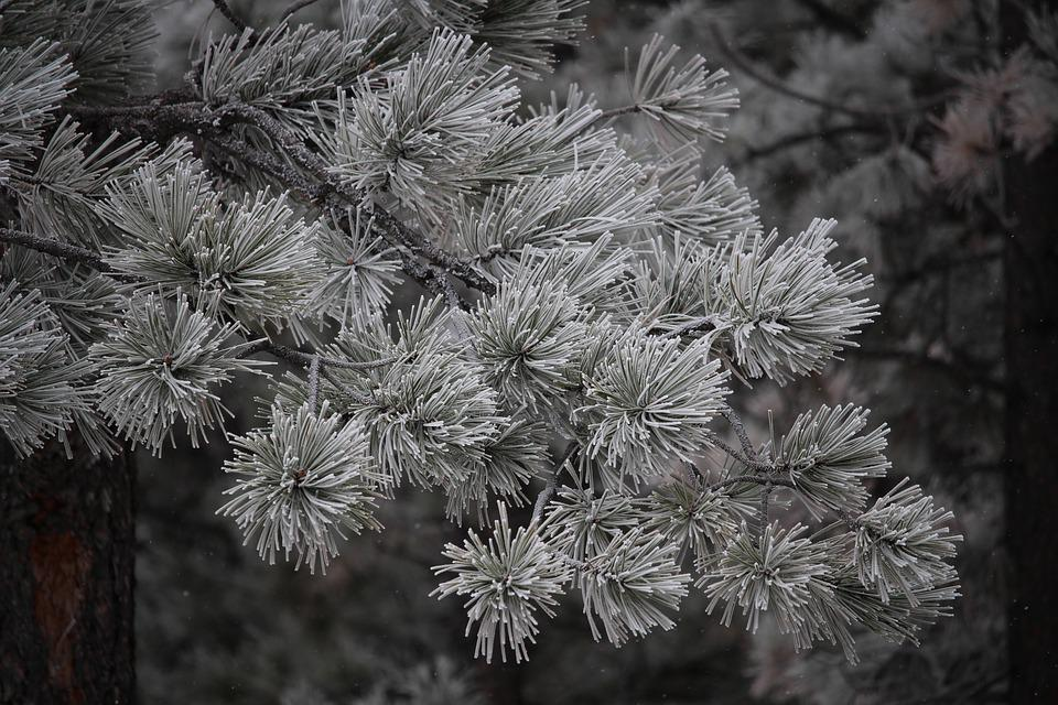 Trees, Winter, Snow, Ice, Frost, Pine, Evergreen