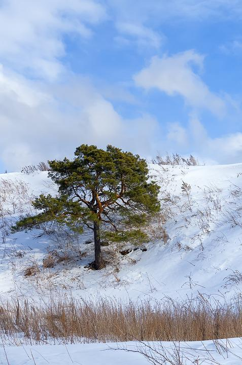 Pine, Winter, Snow, Tree, Winter Landscape, Frost