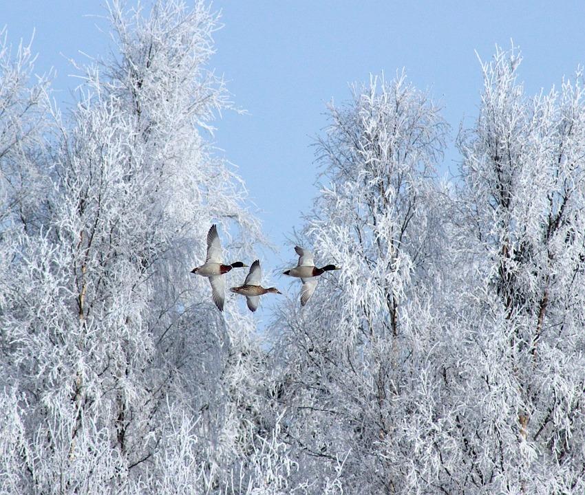 Winter, Birds, Geese, Snow, Ice, Nature, Flying, Flight