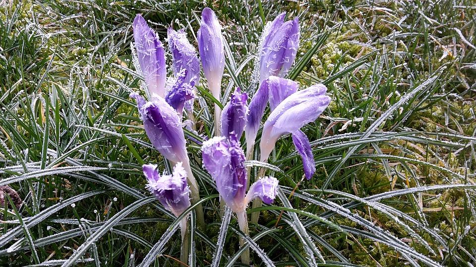Crocus, Snow, Nature, Flower, Plant, Grass, Leaf, Frost