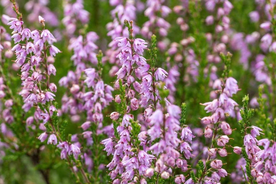 Flowers, Snow Heath, Garden, Blossom, Bloom, Close Up