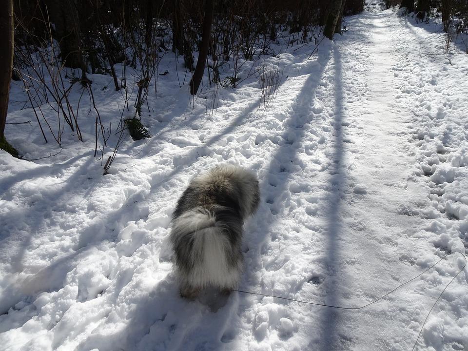 Keeshond, Snow, Shadow, Fur, Hiking, Nature, Winter