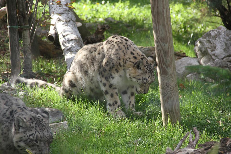 Snow Leopard, Animal, Feline, Mammal, Predator