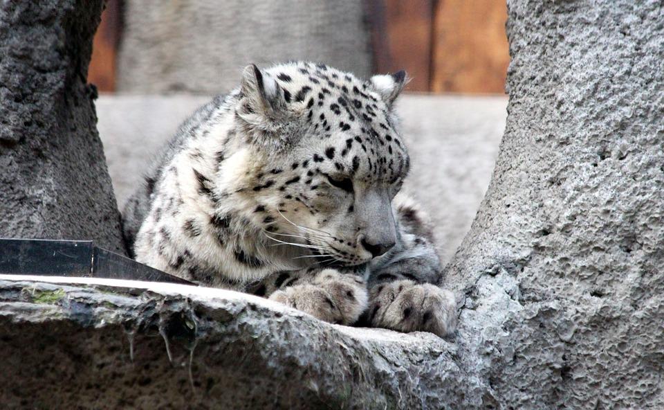 Snow Leopard, Irbus, Panthera Uncia, Predatory Cat