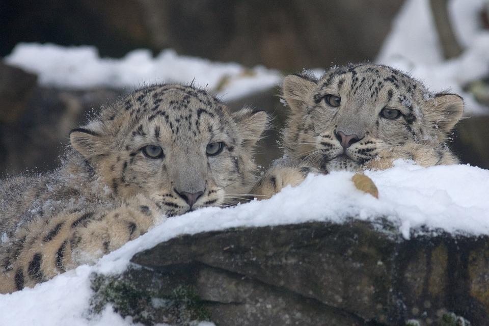 Snow Leopard, Panthera Uncia, Zoo, Leopard, Cat