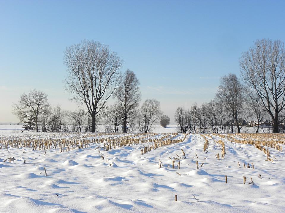 Snow Meadow, Wintry, Cornfield, Winter