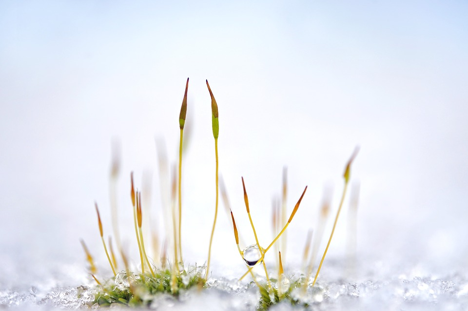 Moss, Plant, Grass, Snow, Ice, Drip, Close Up, Nature