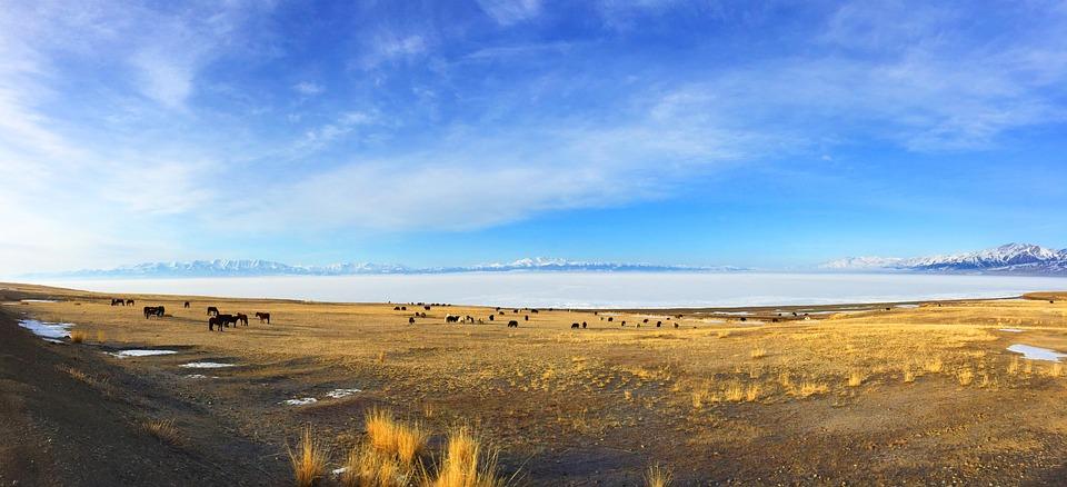 In Xinjiang, Sailimu Lake, Prairie, Snow Mountain, Cow