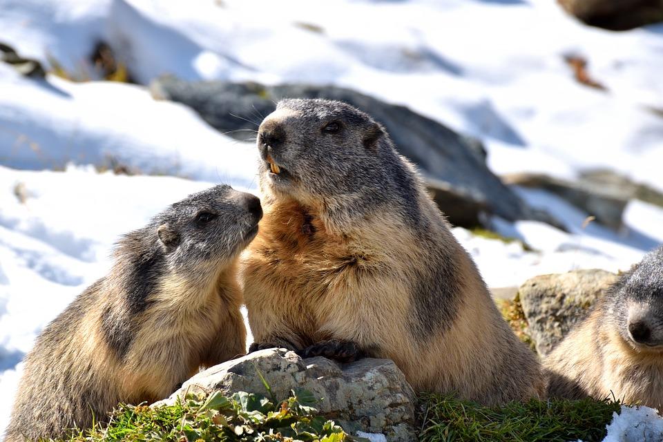 Marmots, Nature, Snow, Rodent, Alpine