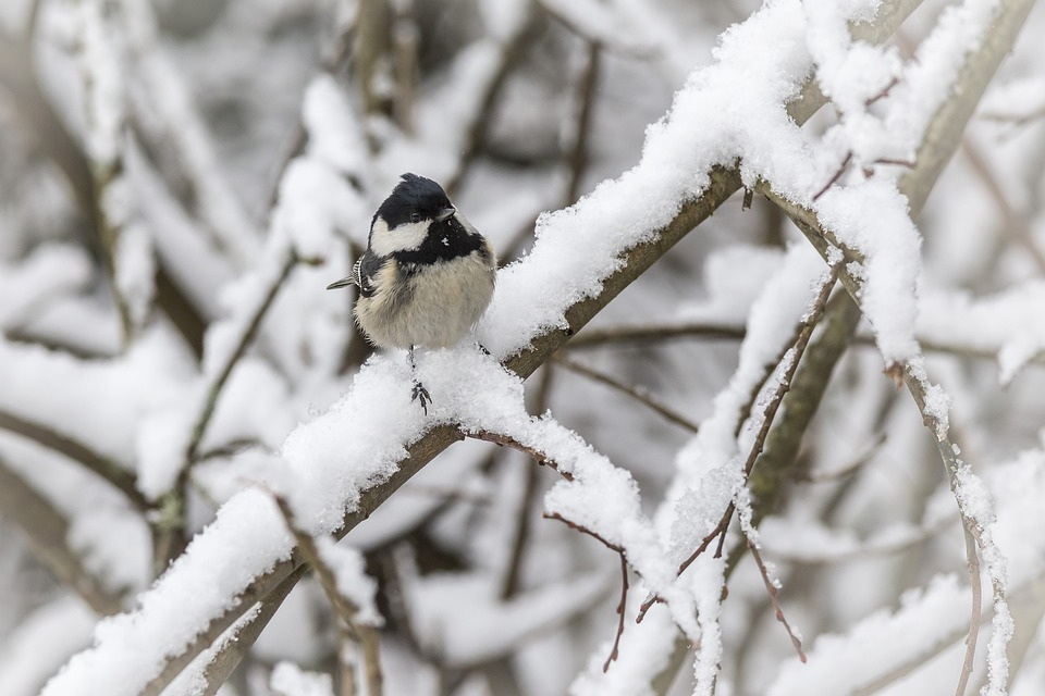 Tit, Cold Temperature, Perching, Coal Tit, Winter, Snow