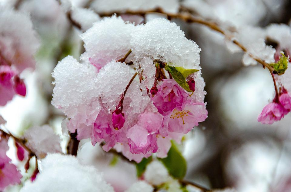 Cherry Blossom, Flowers, Frost, Pink Flowers, Snow