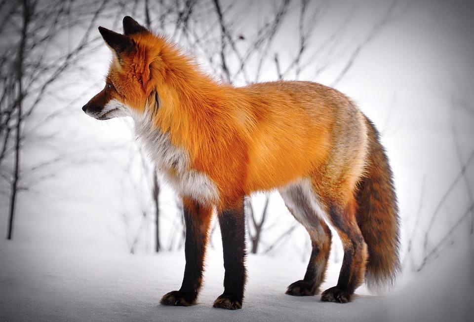 Free photo Snow Red Fox Animal Wild Animal Mammal Fox - Max Pixel