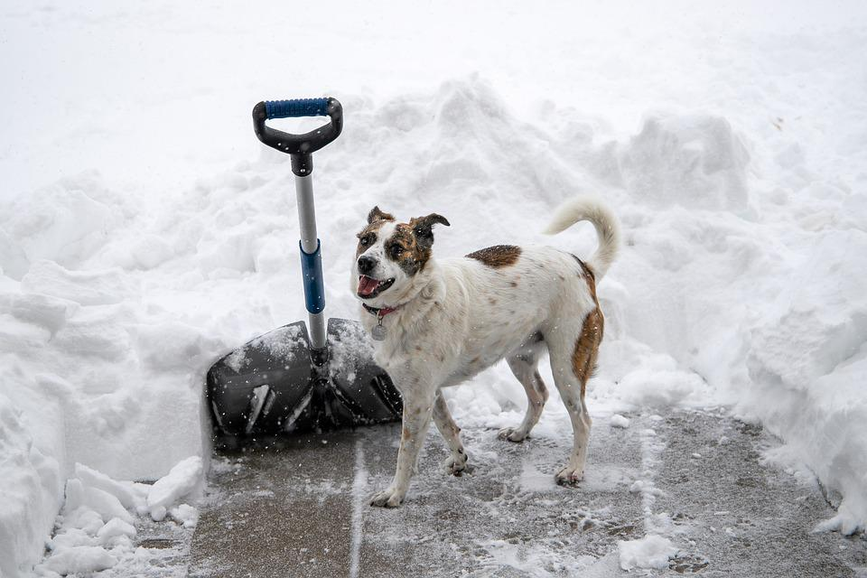 Snow Shovel, Dog, Snow, Patio, Digging Out, Canine