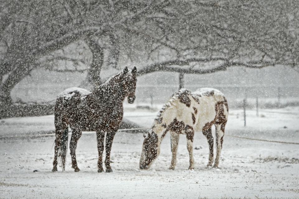 Horse, Equine, Snow, Snowfall, Winter, Equestrian