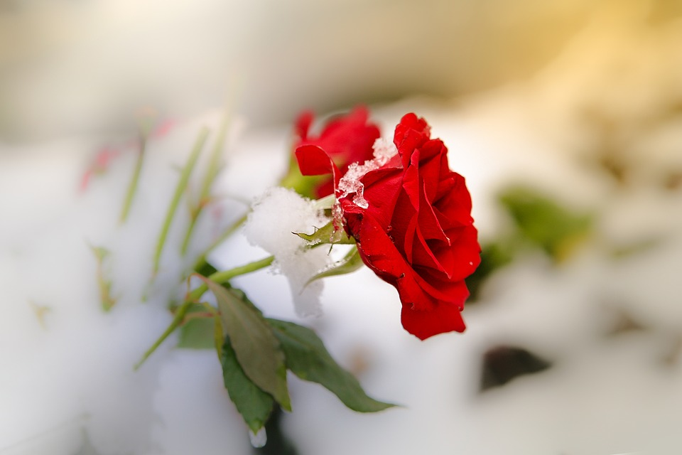 Free photo snow survive frost nature flower cold leaf rose - Rose in snow wallpaper ...