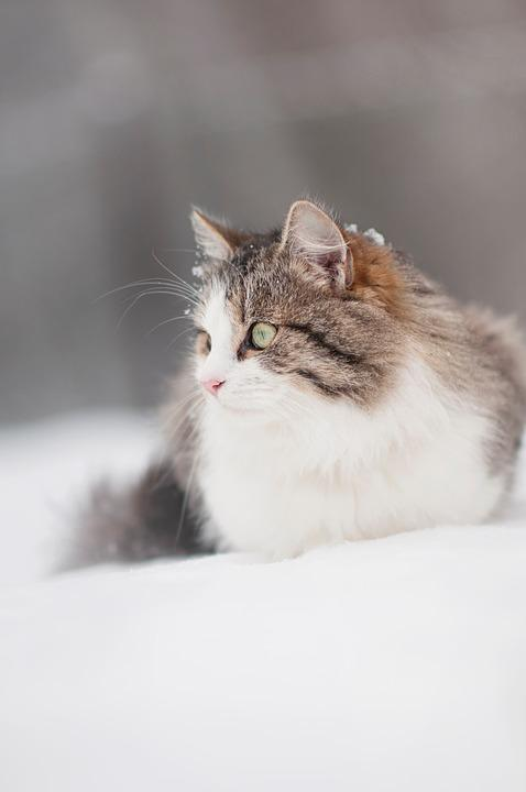 Cat, Tomcat, Hairy, Winter, Snow, Animal, Eyes