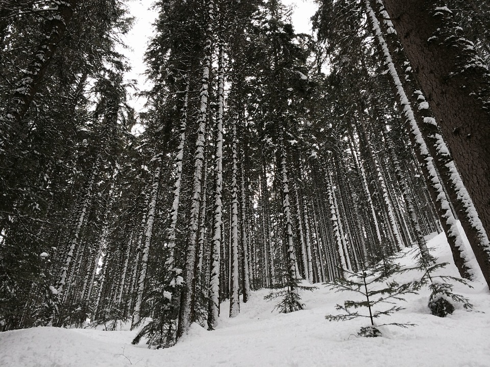 Snow, Trees, Nature, Larch, Mountain, Plant, Trail