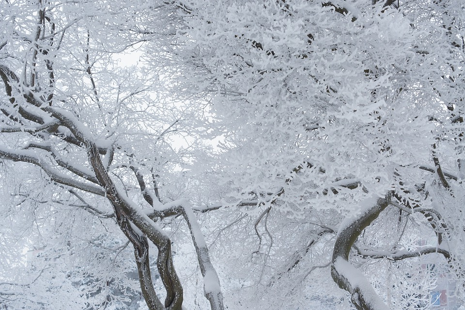 Frosty Tree, Winter, Tree, Snow, Twisty Brances