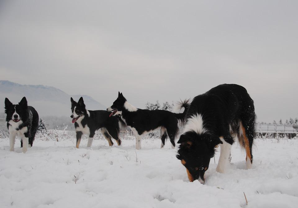 Dogs, Snow, Winter