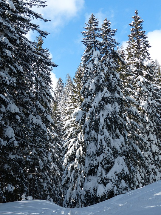 Fir Tree, Firs, Trees, Snowy, Winter, Snow, Sky