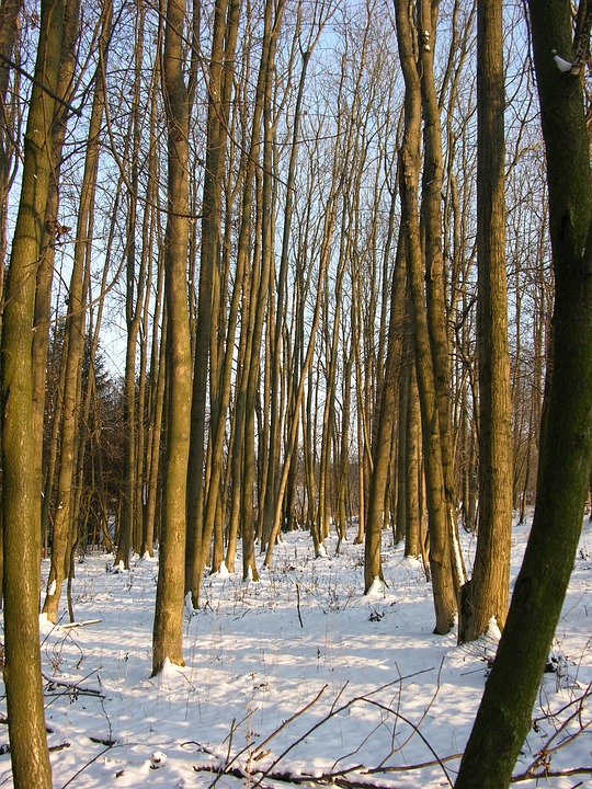 Forest, Snow, Winter