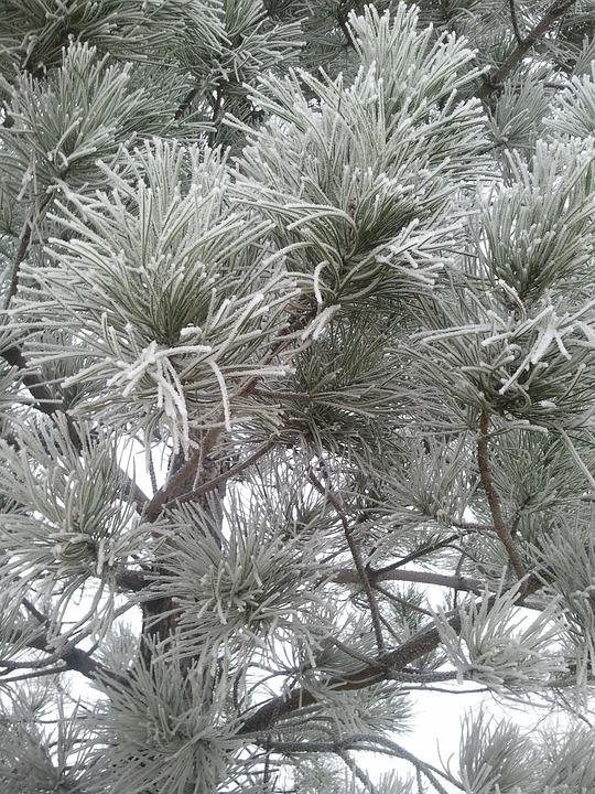 Pine, Snow, Winter, Tree