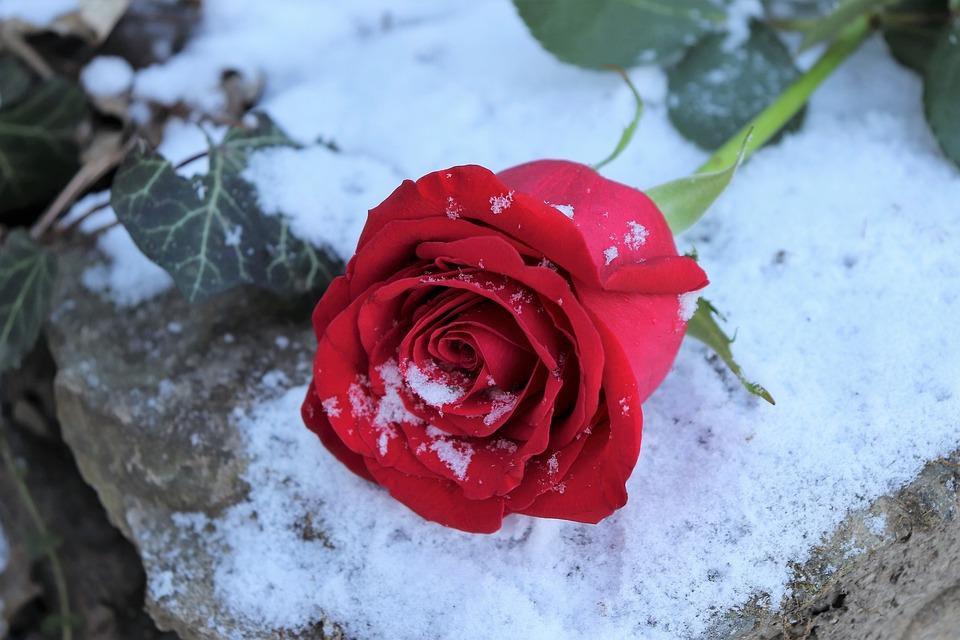 Red Rose On Stone, Love Symbol, Snow, Winter