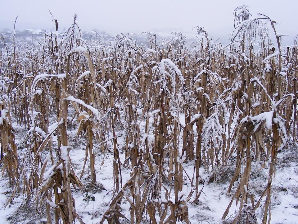 Winter, Snow, Plants, Nature, Season, Snowy, Frozen