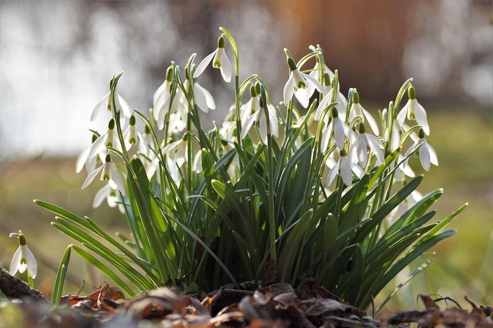Snowdrops, Cluster, Snowdrop, Spring, White Flower