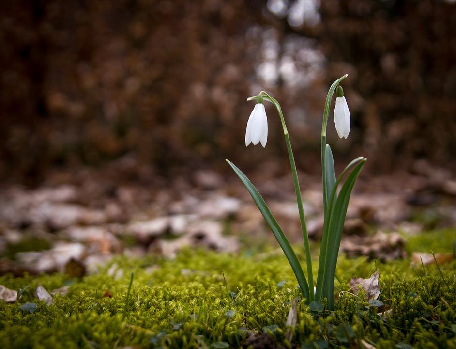 free photo snowdrop flowers forest floor spring snowdrops max pixel