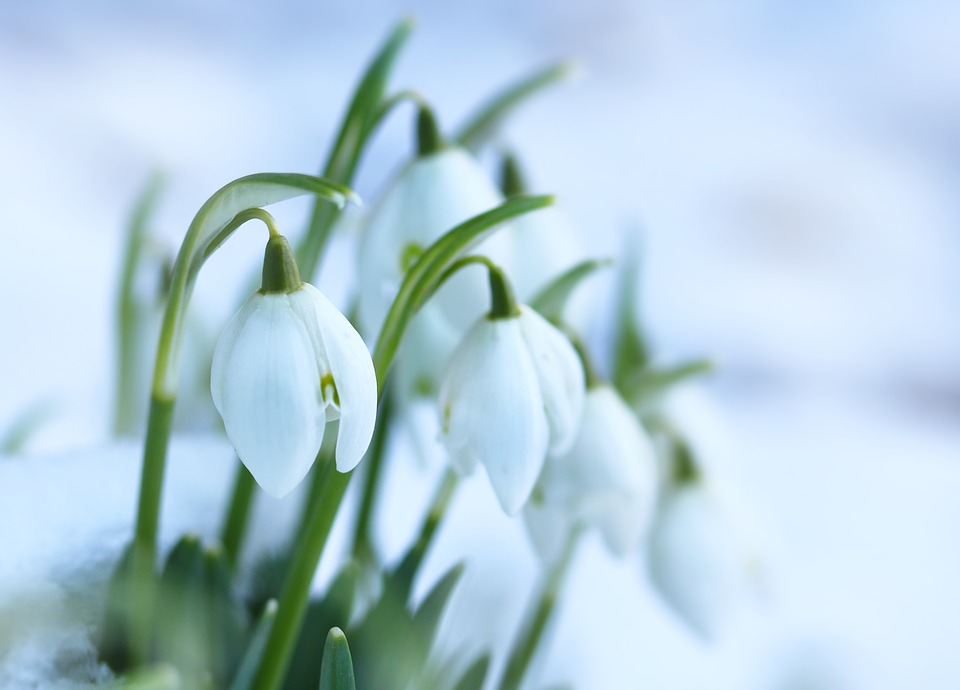 Free photo snowdrops spring flowers flower bulbs white snow max pixel snowdrops spring flowers flower bulbs white snow mightylinksfo