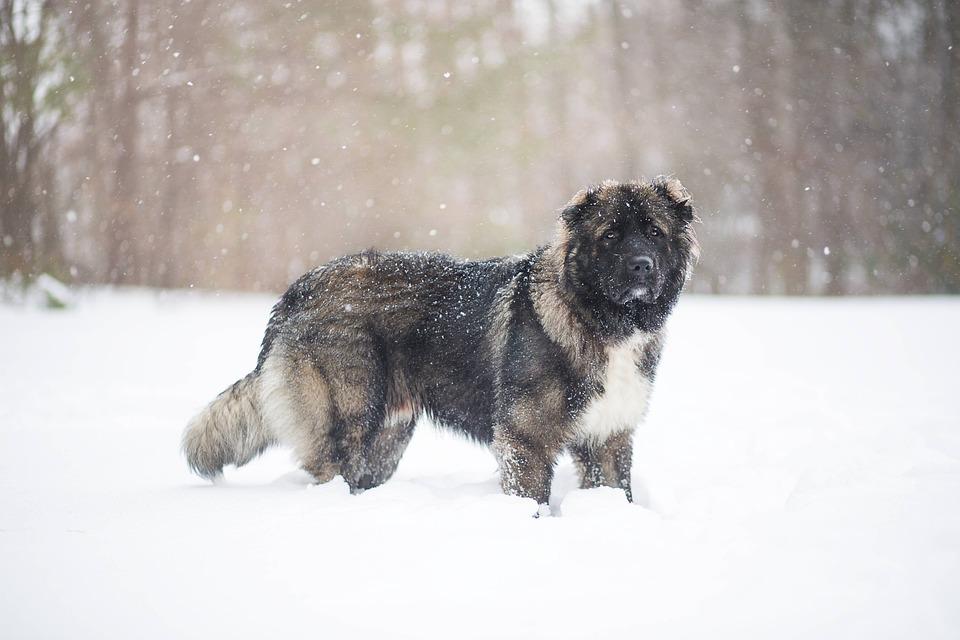 Caucasian Shepherd Dog, Dog, Snow, Snowfall, Play