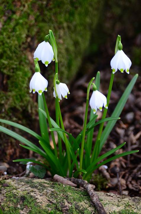 Snowflake, Fruehlingsknotenblume, Early Bloomer