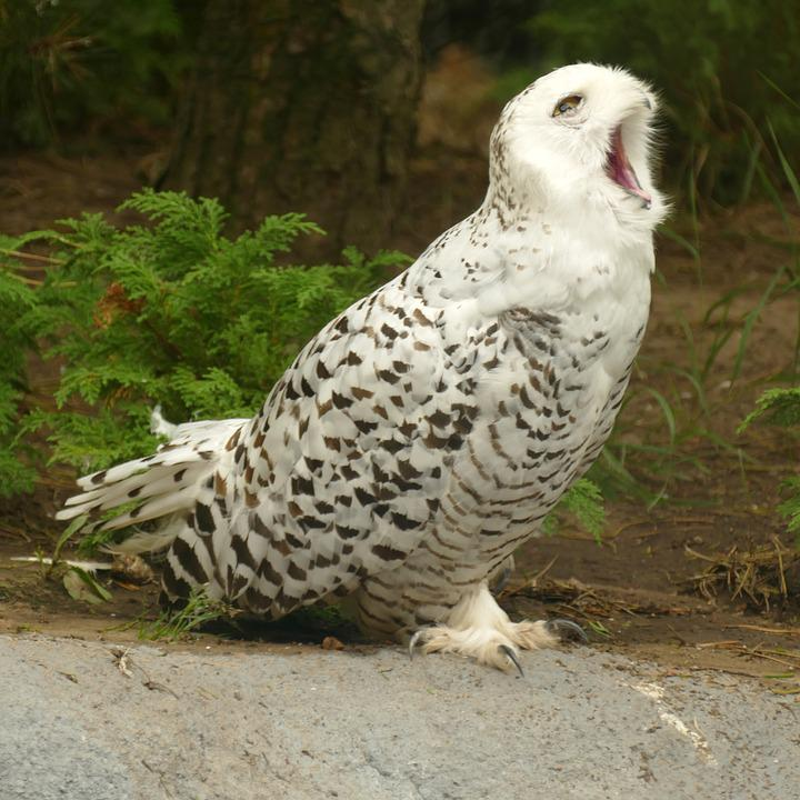 Snowy Owl, Owl, Bird Of Prey, White, Brown, Spot, Beak