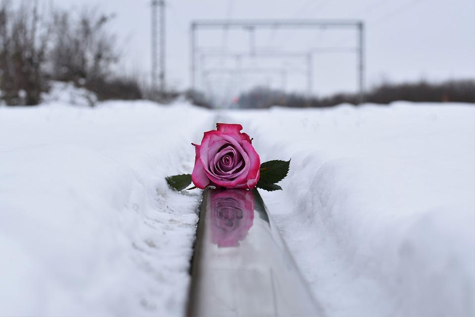 Pink Rose On Railway, Love Symbol, Winter, Snowy