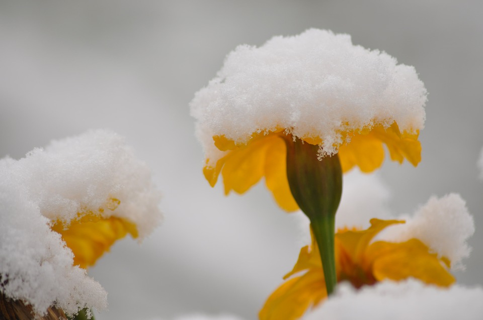 Flowers, Snow, Summer, Winter, Coldsnap, Snowy, Plant