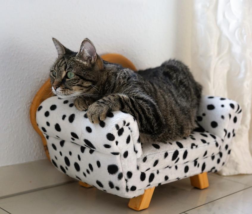 Merveilleux Cat, Tiger, Tigerle, Sofa, Couch, Animal, Predator