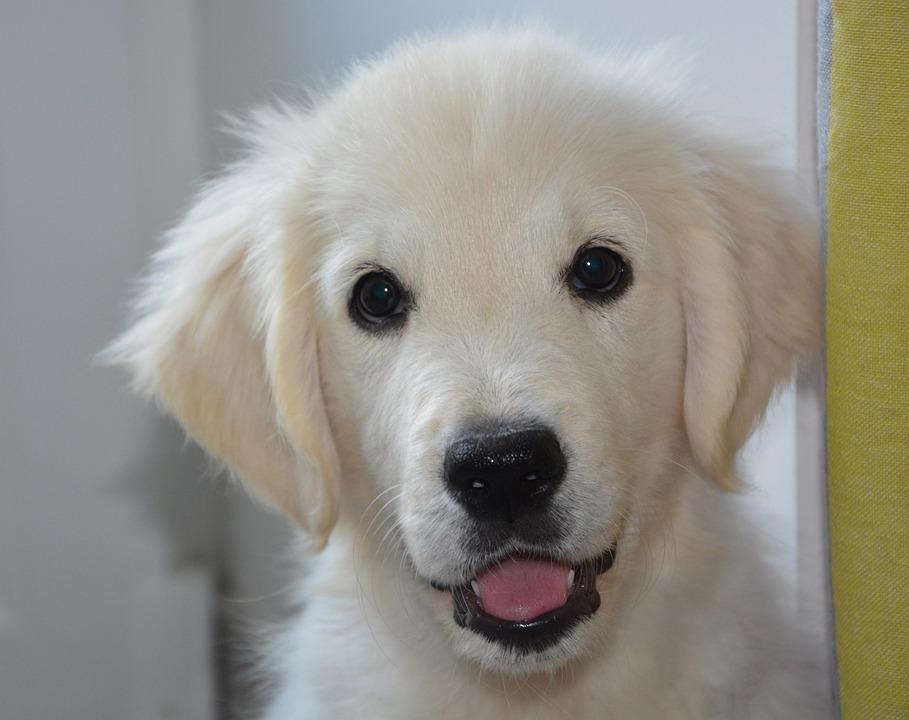 Puppy, Dog, Golden Retriever, Animal, Soft, Cute
