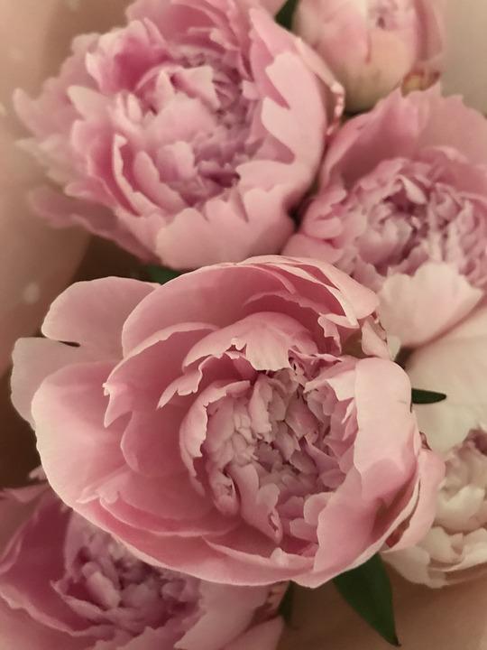 Peony, Flowers, Soft, Pink, Petal, Romance, Nature