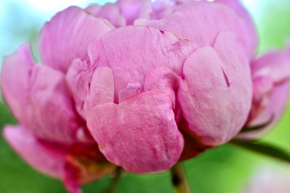 Peony, Pink, Flower, Petals, Soft, Nature, Button