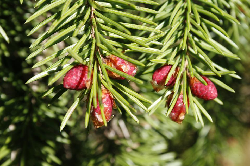 Softwood, Tree, Oras