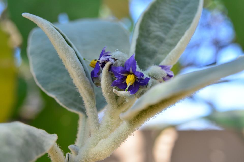 Bugweed, Solanum, Mauritianum, Flower, Small, Tobacco