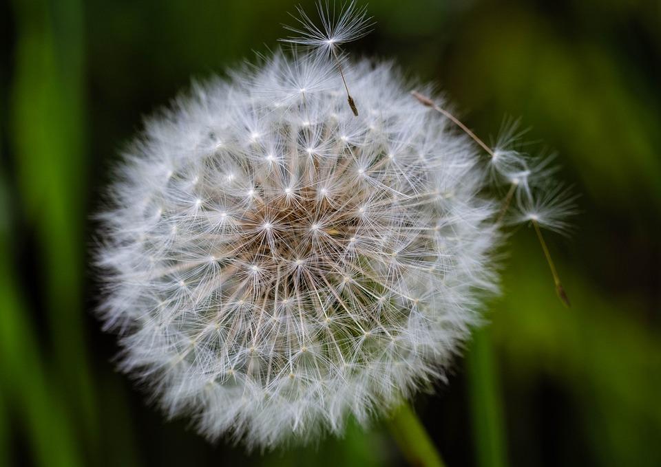 Dandelion, Dandelions, Sonchus Oleraceus, Spring, Nuns