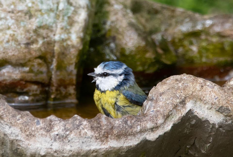 Blue Tit, Bathing, Song Bird, Moss, Moss In Beak, Grass