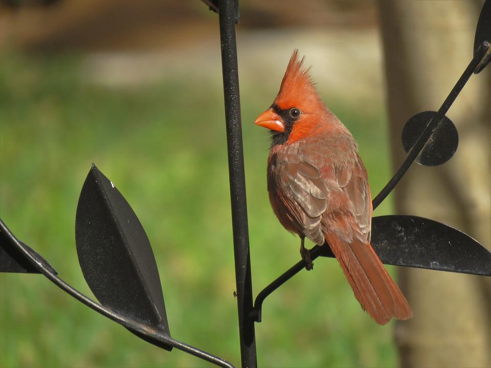 Cardinal, Song Bird, Bird, Nature, Wildlife, Red