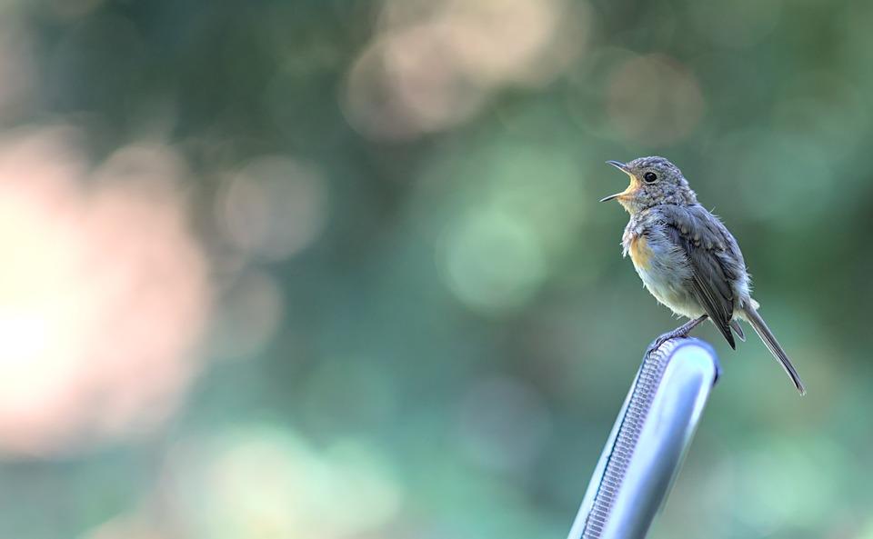 Robin, Bird, Songbird, Animal, Perched, Small Bird