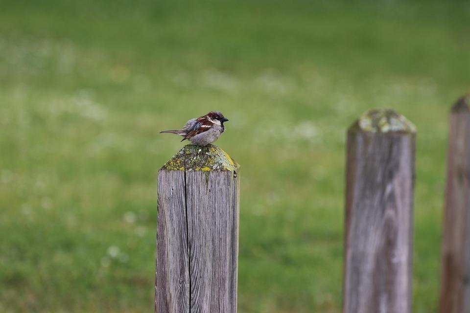 Bird, Sparrow, Nature, Songbird, Wildlife, Fence